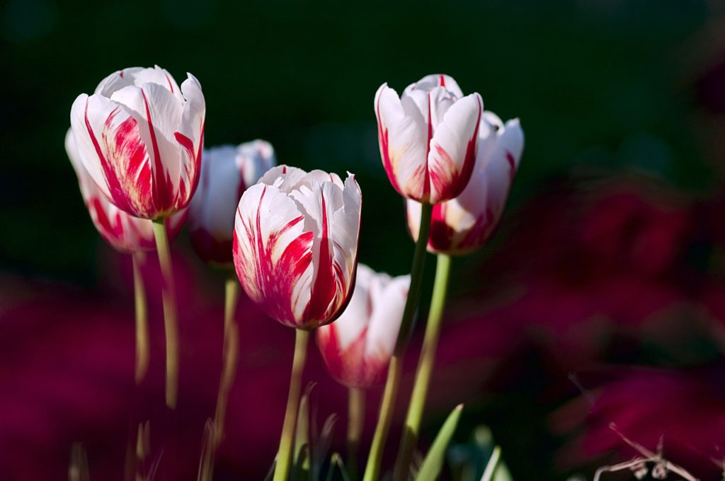 acquistare bulbi di tulipano