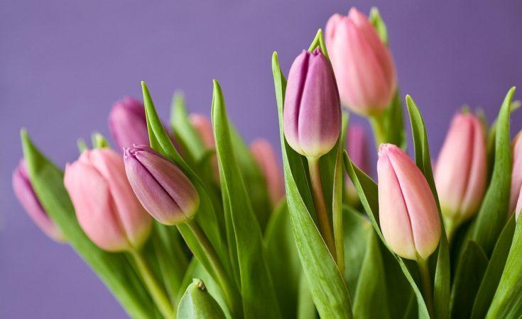 semi di tulipano casa fiorita