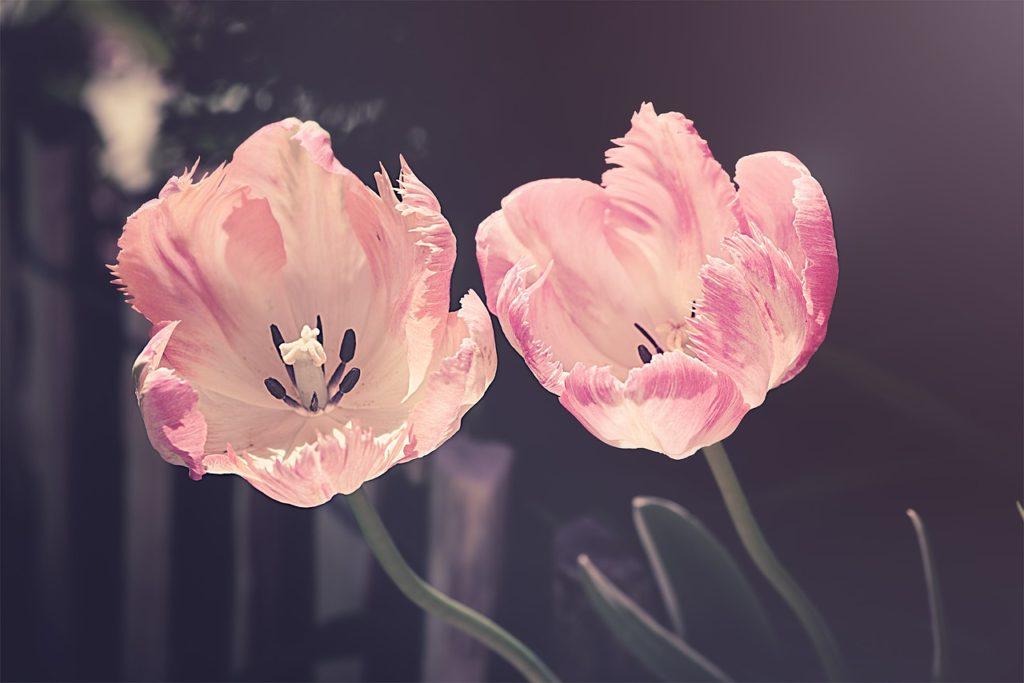 dove trovare semi di tulipano