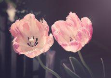 matrimonio a tema tulipano