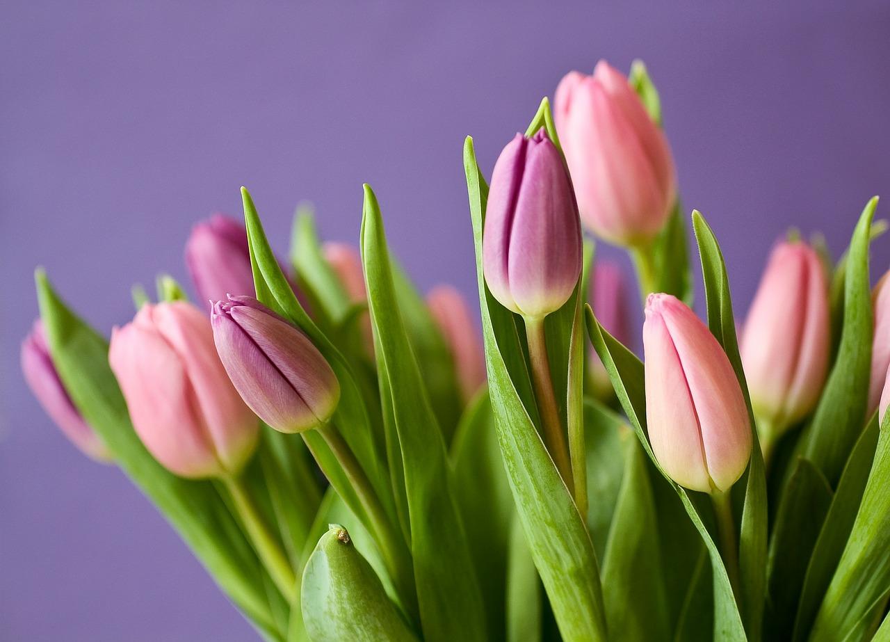 Come Si Piantano I Tulipani semi di tulipano: dove trovarli per il giardino degli sposi